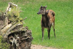 Visayan spotted deer Stock Photo