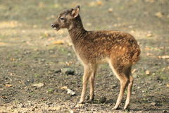 Visayan spotted deer Royalty Free Stock Photo