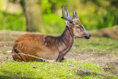 Visayan spotted deer Rusa alfredi. Also known as the Philippine spotted deer or Prince Alfred`s deer stock image