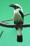 Visayan tarictic dzioborożec Fotografia Stock