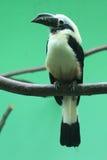 Visayan tarictic Hornbill Stockfotografie
