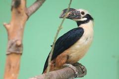 Visayan tarictic hornbill Stock Afbeelding
