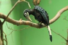 Visayan tarictic hornbill Royalty Free Stock Photos