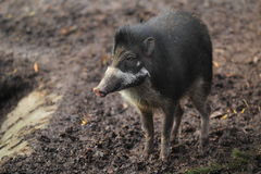 Visayan warty pig Royalty Free Stock Image