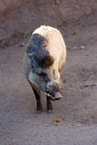 Visayan Warty Pig Stock Photography
