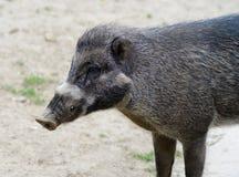 Visayan Warty Pig Royalty Free Stock Image