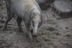 Visayan Warty Pig Royalty Free Stock Images
