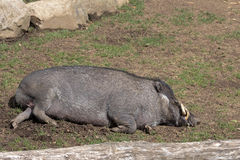 Visayan Warty Pig Boar Sleeping Stock Image