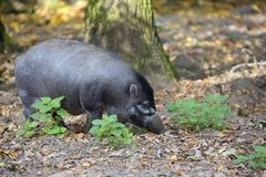 Visayan Warty Pig in the forest Royalty Free Stock Photo