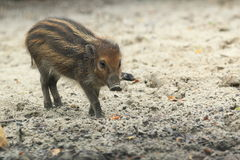 Visayan warty pig juvenile. The juvenile of visayan warty pig strolling in the soil Stock Images