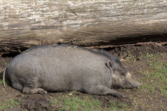 Visayan Warty Pig Sow Sleeping Royalty Free Stock Images