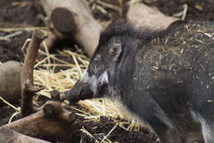 Visayan Warty Pig - Sus Cebifrons Royalty Free Stock Photo