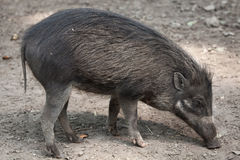 Visayan Warty Pig (Sus Cebifrons). Royalty Free Stock Photography