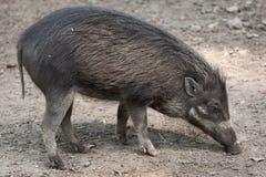 Visayan Warty Pig (Sus Cebifrons). Stock Images