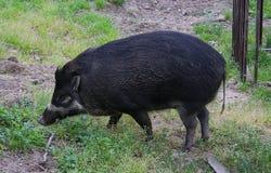 Visayan warty pig Sus cebifrons at Bratislava ZOO stock image
