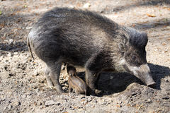 Visayan warty pig, Sus cebifrons negrinus, sow with cub stock photo