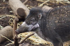Visayan Warty Pig - Sus cebifrons Stock Photos