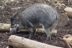 Visayan Warty Pig - Sus cebifrons Royalty Free Stock Photo