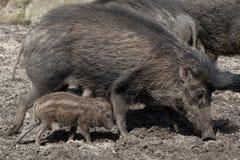 Visayan warty pig (Sus cebifrons). Royalty Free Stock Photos