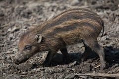 Visayan warty pig (Sus cebifrons). Royalty Free Stock Image