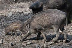 Visayan warty pig (Sus cebifrons). Royalty Free Stock Photo