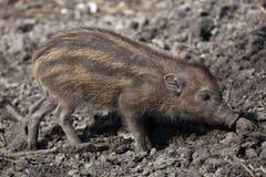 Visayan warty pig (Sus cebifrons). Stock Photography