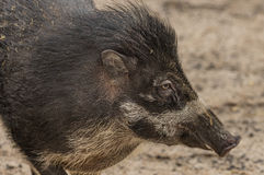 Visayan warty pig in ZOO Decin royalty free stock photos