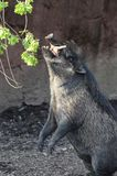Visayan warty pig3 Stock Photography