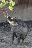 Visayan warty pig4 Stock Photography