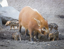 Visayan Warty Piglet with Mother Stock Photos