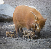 Visayan Warty Piglet with Mother Stock Photo