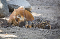 Visayan Warty Piglets with Mother Stock Photography