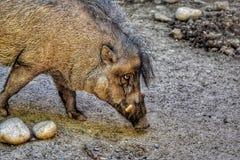 Visayan-Warty Schwein lizenzfreies stockfoto