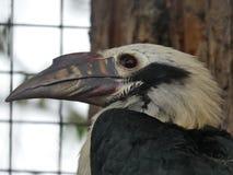 Visayanhornbill som ut ser på dagen arkivfoton