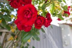 Visby róże Zdjęcie Royalty Free