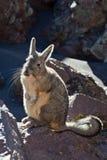 Viscacha Stock Image