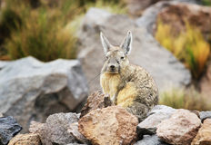 Viscacha Stock Foto