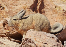 Viscacha Royalty Free Stock Images