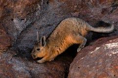 Viscacha del sud Fotografie Stock