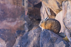 Viscacha im Los-Flamenco-national Reserve Lizenzfreies Stockbild