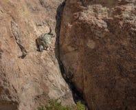 Viscacha lub vizcacha Lagidium viscacia w Rockowej dolinie Bolivean altiplano - Potosi dział, Boliwia Zdjęcia Stock