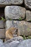 Viscacha resting at Machu Picchu ruins stock photo