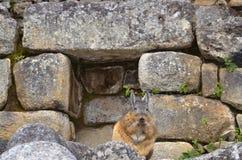 Viscacha resting at Machu Picchu ruins stock image