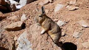 Viscacha, similar to chinchillas. Viscachas or vizcachas. They are chinchillas, but look similar to rabbits. The southern viscacha occurs in southern Peru royalty free stock photos