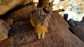 Viscacha, similar to chinchillas. Viscachas or vizcachas. They are chinchillas, but look similar to rabbits. The southern viscacha occurs in southern Peru royalty free stock images