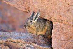 Viscachas or vizcachas Stock Photos