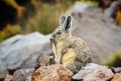 Viscachawacht op rotsen Royalty-vrije Stock Fotografie