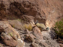 Viscacia de Lagidium de Viscacha ou de vizcacha en vallée de roche d'altiplano de Bolivean - département de Potosi, Bolivie Photo stock