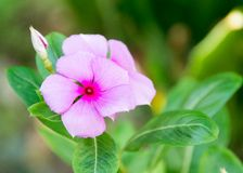 Viscaria Flower Stock Images