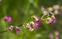 Viscaria vulgaris and insects Stock Photo